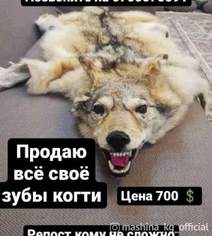 Другие - Шкура волка продаю